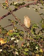 Female Linnet