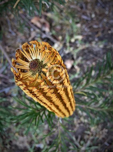 Honey Coloured Banksia Flower
