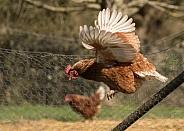 Chicken (hen)
