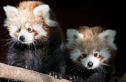 Red Panda cubs