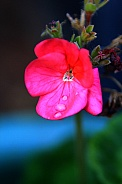 small red flower water droplet