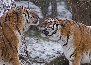 Two Amur Tigers