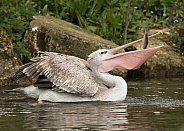 Pink-backed Pelican Fishing