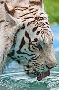 White Tiger Drinking