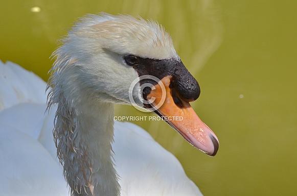 Swan Portrait