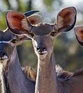 Female Kudu - Okavango Delta - Botswana