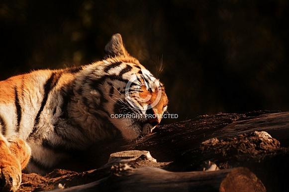 Sleeping Amur Tiger.