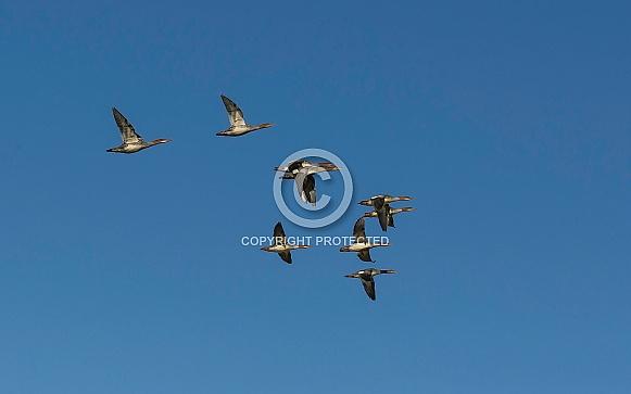 Common Merganser Duck Group Flying