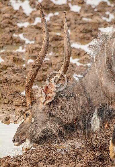 Nyala bull drinking