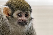 Squirrel Monkey Close Up Face Shot