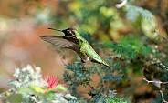 Hummingbird - Anna;s