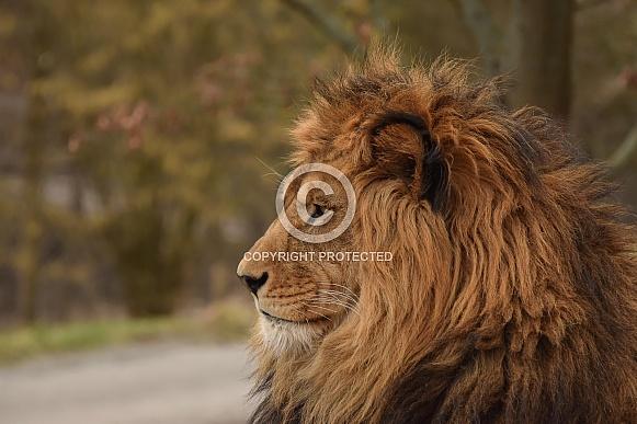 Lion lose up