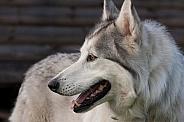 Norther inuit hybrid dog