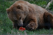 Grizzly Bear eating some fruit