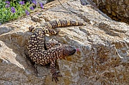 Mexican Beaded Lizard