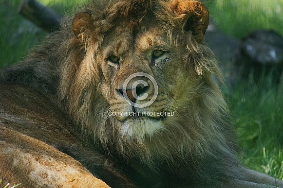 African Lion Resting in Dappled Sunlight