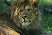 African Lion Resting in Dappled Sunlight