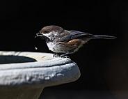 Boreal Chickadee at the Birdbath