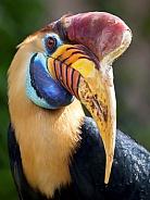 Sulawesi wrinkled hornbill