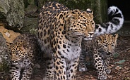 Amur Leopard and cubs